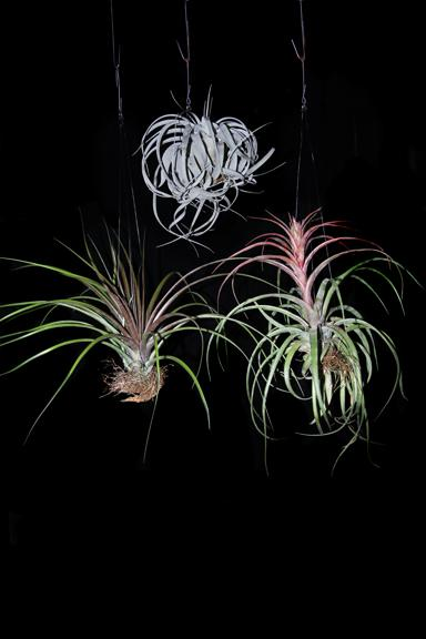 large-hanging-tillandsia